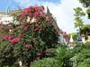 Krásná Bugenvilie v zahradě